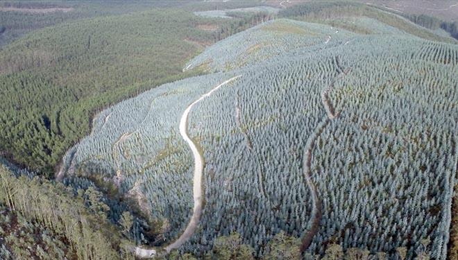 Guía de cultivo do eucalipto