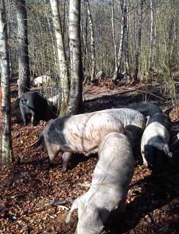 Porcos celtas, no monte do Carballo.