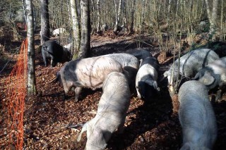 """Xornada técnica sobre """"O Porco Celta en Galicia"""""""
