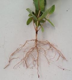 Planta con raíz pivotante.