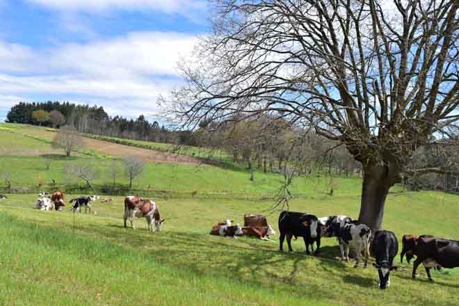 Vacs en pastoreo en una ganadería ecológica gallega