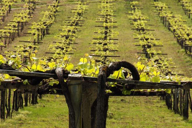 Recomendaciones para el abonado de la viña