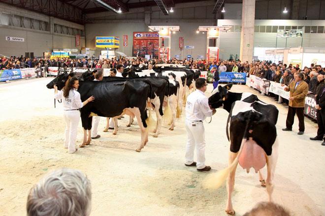 ¿Son máis rendibles as vacas leiteiras máis grandes?