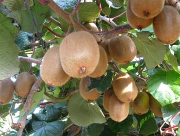 ¿Que problemas fitosanitarios tivo o Kiwi en Galicia en 2017?