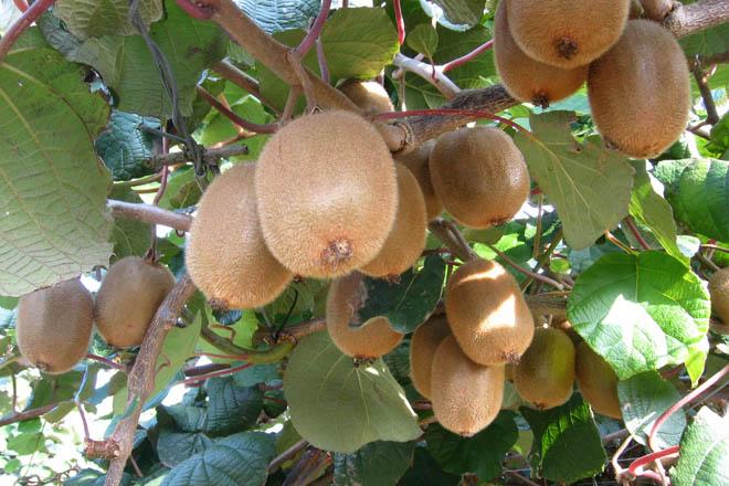 Destacan a boa calidade da colleita do kiwi a pesares do seu pequeno tamaño polo calor e a seca