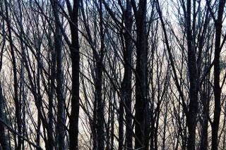 Tratamientos silvícolas en el castaño para la producción de madera