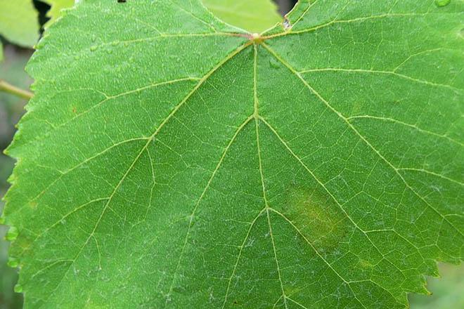 Areeiro recomenda o tratamento xeralizado contra mildiu en viñedo
