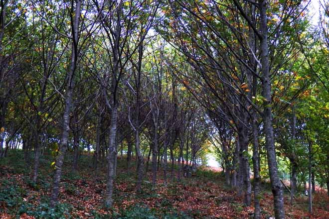 Manejo del casta o para la producci n de madera campo galego for Factores para seleccionar el terreno para el vivero