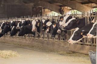 Listado das mellores ganderías de vacún de leite da provincia de Lugo