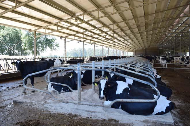 """""""Unha hora máis de descanso da vaca son dous litros de leite máis por muxidura"""""""