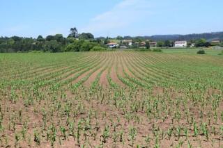 Ucoga indemniza con máis de 176.000 euros aos gandeiros galegos por perdas na colleita de millo forraxeiro