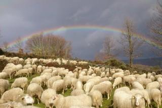 Fijado en 11,8 euros por animal el importe definitivo de la ayuda asociada a ganaderías de ovino