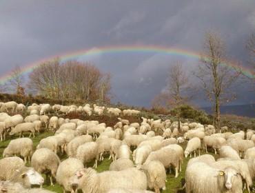 Fixado en 11,8 euros por animal o importe definitivo da axuda asociada a gandarías de ovino