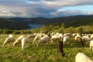 As axudas pola Covid deixan fóra ó 95% das granxas galegas de ovino e cabrún que, por tamaño, poderían cobralas