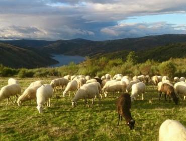 Situación actual dos parásitos hepáticos e ruminais do gando ovino e caprino galego