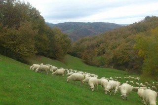 El ovino y caprino gallego, afectado por el coronavirus, espera salvar la campaña de verano