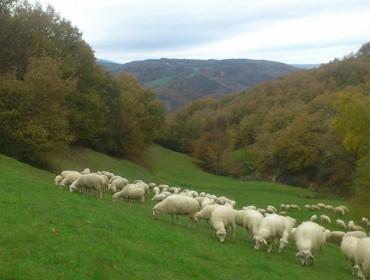 Buscan pastor/a para un rabaño de ovellas en Allariz