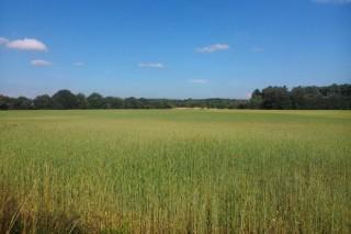 Presentan a primeira fariña ecolóxica de trigo Callobre