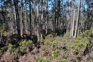Os produtores de eucalipto queren apoios para prevención de lumes