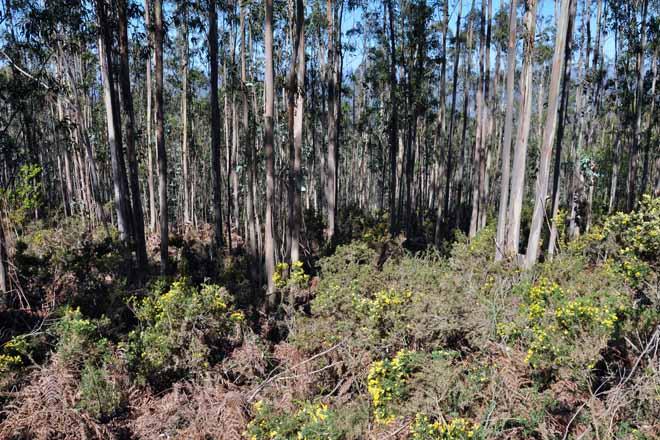 Los productores de eucalipto quieren apoyos para prevención de incendios
