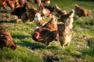 Pazo de Vilane, a marca das galiñas en libertade