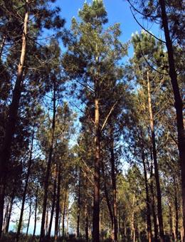Galicia consolida a mellora do piñeiro do país con tres hortos sementeiros de alta calidade xenética