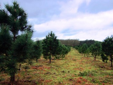 La mejora genética del pino del país se asienta con un nuevo huerto semillero en Lalín