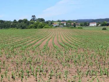 Oito claves para a sementeira do millo forraxeiro en Galicia
