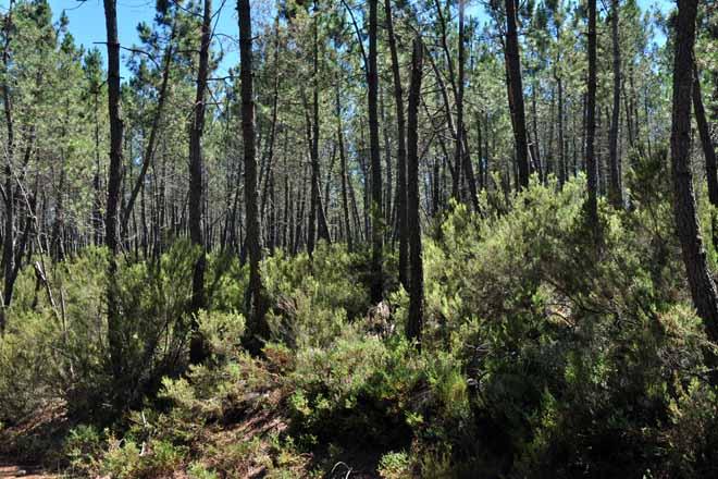 El potasio resulta determinante para el crecimiento de las plantaciones de pino del país