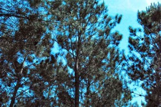 O CIF Lourizán identifica familias galegas de piñeiro con alta resistencia ó nematodo