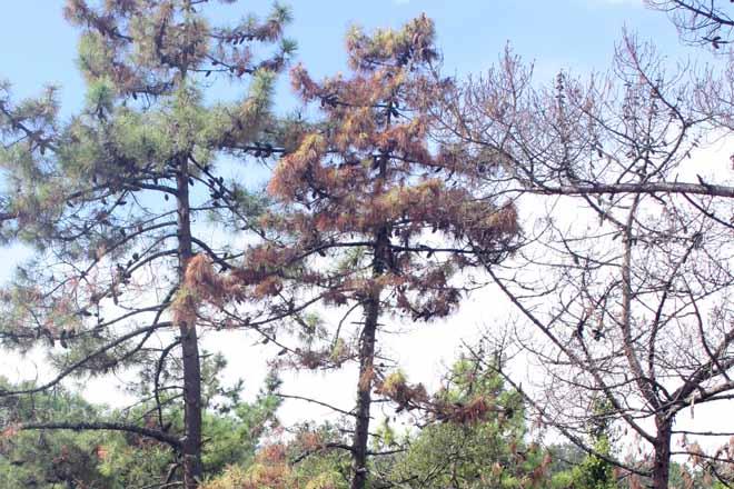 Cinco prioridades en el control del nematodo del pino