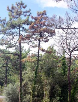 Europa cuestiona las medidas contra el nematodo del pino en Galicia