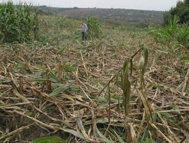Propuestas para un control efectivo de los daños del jabalí en la agricultura