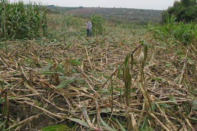 Unións pide que se inicien las batidas contra el jabalí para salvar el maíz