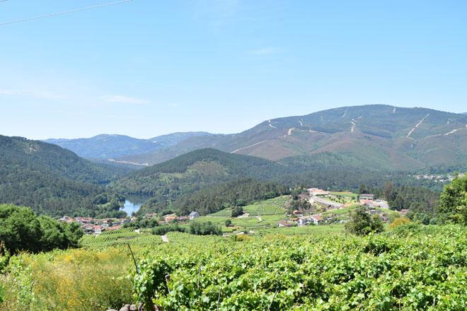 Coidados das viñas durante esta semana: menor risco de mildeu pola baixada das temperaturas