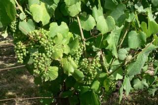 """Aconsellan """"máxima precaución"""" no viñedo ao aplicar fitosanitarios en días de calor"""