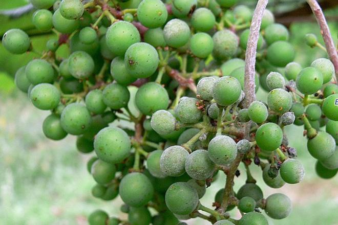 """Areeiro advierte del peligro """"elevado"""" de infección por oídio en el viñedo"""