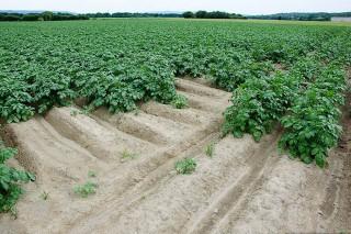 Segundas jornadas técnicas sobre la patata el próximo martes en A Limia