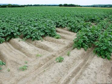 Os bos prezos animan a plantar máis pataca na Limia