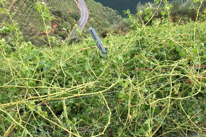 Convocadas as axudas para os viticultores da Ribeira Sacra afectados polo pedrazo