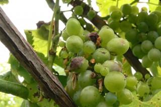 Buen estado sanitario del viñedo a pocas semanas de la vendimia