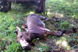 Terceiro ataque do lobo en dous meses nunha granxa de Rodeiro