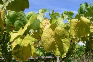 Avisos fitosanitarios en viñedo e pataca