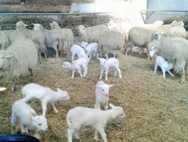 A paralización da venda de cordeiros e cabritos alíviase no supermercado