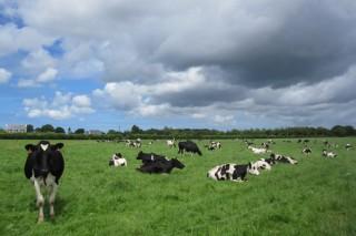 Como traballan as ganderías de leite en Francia?