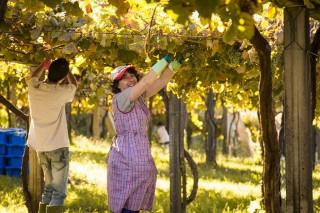 Sorpresa en la vendimia en Galicia, con una cosecha de uva superior a la prevista