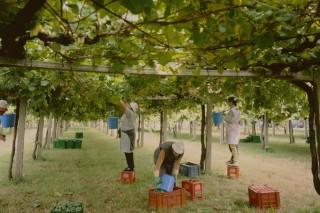 Rías Baixas estima recoller uns 36,6 millóns de quilos de uva