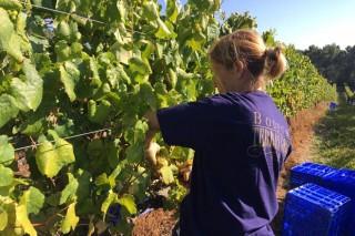 Converter o bagazo da uva no mellor abono para a viña