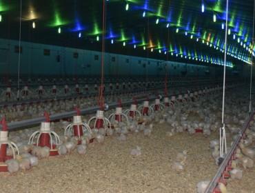 O sector avícola entra en perdas pola suba da luz e a baixada de prezos da carne