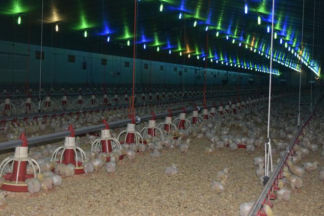 Aprobado un decreto que lle esixe ás granxas avícolas un plan de xestión de estercos